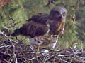 April 3 : the Short-toed Eagle female is laying the egg