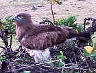 Live broadcast from Short-toed Eagle nest