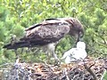 Short-toed Eagle feeding its chick in the nest. Video by Vladimir Ivanovski