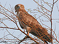 Search results for Short-toed Snake Eagle