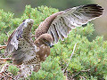 Short-toed Eagle (CIRCAETUS GALLICUS) / by MALAFOSSE JP. 2008