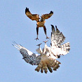 Short-toed Eagle and Long-legged Buzzard. Full size