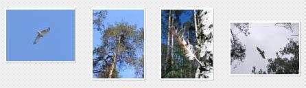 Short-toed Eagle. Konstantin Pismennyi. 2005