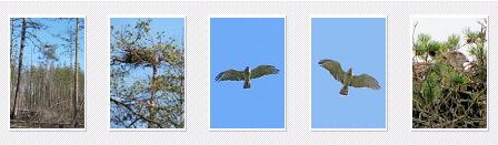 Short-toed Eagle. Marina Sidenko. 2008