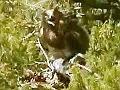 Il Biancone (Circaetus gallicus) in Maremma. Video by Vincenzo Rizzo Pinna