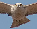 Short-toed Eagle. Netfugl.dk search results for Circaetus gallicus