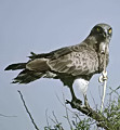 Short-toed Eagle. OBI search results for Circaetus gallicus