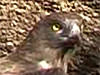 Short-toed Eagle eating a snake