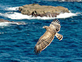 Short-toed Eagle. Photo 1