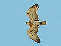 Short-toed Eagle. Photo 5