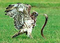 Short-toed Eagle fighting with Cobra, by Gowathaman Ganesan
