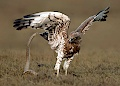 Short-toed Eagle fighting with Rat Snake, by Jamie Smith