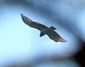 Fragments of Short-toed Eagles' flights in Northern Ukraine this year