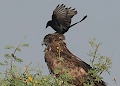 Black Drongos probably removing parasites from Short-toed Snake Eagle head, by Pankaj Maheria