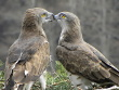 Bernard Joubert, 27.03 : the pair of Short-toed Eagles at their nest : a rare physical contact of partners