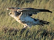 Best photos of Short-toed Eagle on Birds of Northern Eurasia