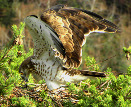 Photos taken by Bernard Joubert: Short-toed Eagles' communication postures