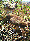 Ritualised behaviour between the female and male Short-toed Snake Eagle / by D. Mori