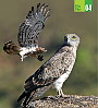 Ela Foundation fact file on Short-toed Eagle