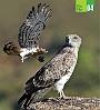 Ela Foundation fact file on Short-toed Eagle