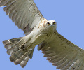 An immature 2cy Short-toed Eagle having the secondaries of the juvenile plumage