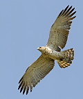 The Short-toed Eagle is one of our smaller eagles (Photo: Kris De Rouck)