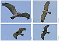 Pictures of the Short-toed Eagle pair taken in 2008, 2010 and 2012 by Lionel Maumary and others