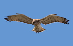 17 years old (18cy) Short-toed Eagle male hunts / by Michel REYNÉ
