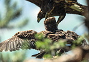 An unique photo: the juvenile Short-toed at the nest and an immature Golden Eagle / by Stéphane Mettaz