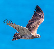 An adult short-toed eagle reaching the Spanish coast of the Strait of Gibraltar during spring