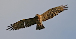 An adult female Short-toed Eagle