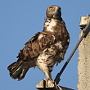 Photos of an adult Short-toed Eagle female by Askar Isabekov on the Birds of Kazakhstan website