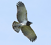 Juvenile Short-toed Eagle A30