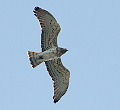 Short-toed Eagle in Spain