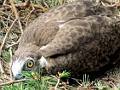 Photo 1 : Short-toed Eagle chick with typical «hunger» cross bars on the growing feathers
