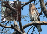 Juvenile Short-toed Eagles have recently left their nests. Typical (left) and untypical (right) behaviour in the presence of human