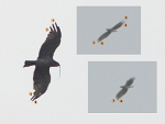 Recognizing the same Short-toed Eagle male (K11) from shorter and longer (0.8-0.9 km) distances based on condition of 14 the biggest flight feathers