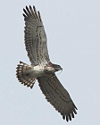 Alpes-Maritimes, photo by P. KERN : adult male Short-toed Eagle with a snake