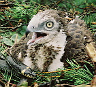 Short-toed Eagle nestling with paralyzed Grass Snake in a nest. 7.07.1997, Beshenkovichi district. Photo by V.V. Ivanovsky