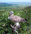 Wind farms fields in Spain and a Short-toed Eagle on a perch