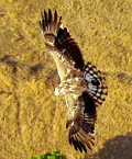 India Nature Watch: Short-toed Snake Eagle